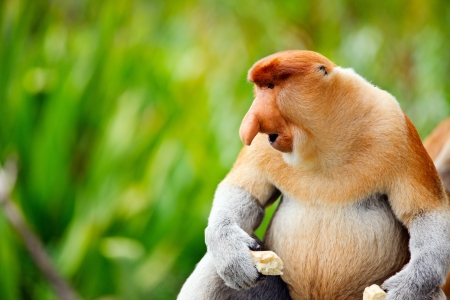 Proboscis monkey endemic of Borneo island in Malaysia Stock Photo