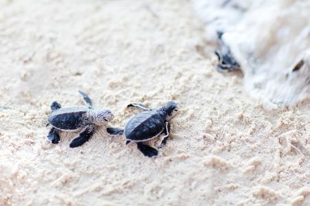 small reptiles: Baby tartarughe verdi verso l'oceano Archivio Fotografico