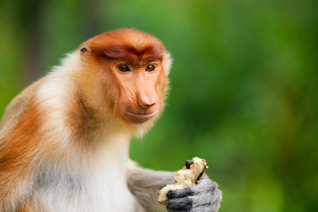 Young male proboscis monkey on Borneo island in Malaysia