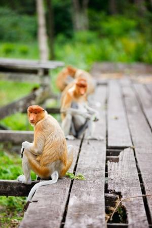 sandakan: Proboscis monkeys on Borneo island in Malaysia
