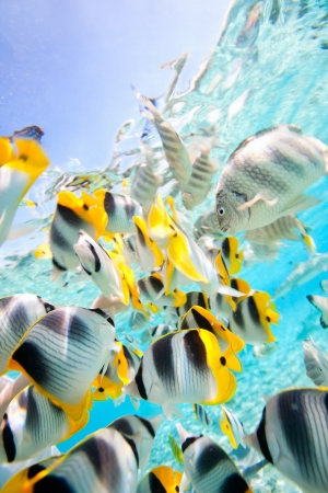 aquarium fish: School of butterfly fish in Pacific ocean Stock Photo