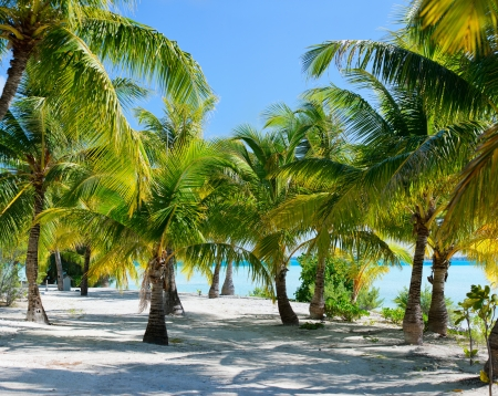 Palm trees at tropical coast on Bora Bora island