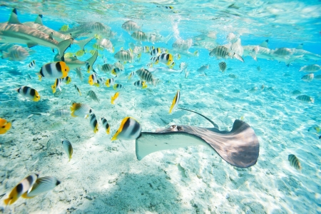 french polynesia: Colorful fish, stingray and black tipped sharks underwater in Bora Bora lagoon Stock Photo