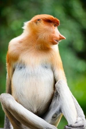 sandakan: Portrait of proboscis monkey endemic of Borneo island in Malaysia
