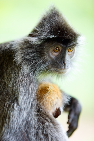 sandakan: Portrait of silver leaf monkey with a baby