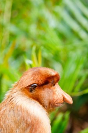 sandakan: Back view of male proboscis monkey