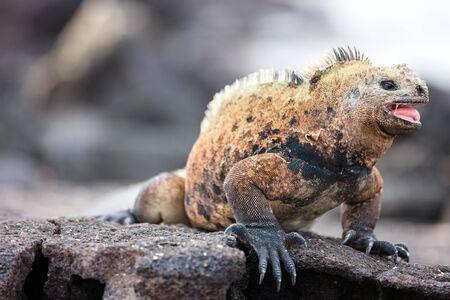 amphibian: Portrait of male marine iguana, endemic of Galapagos islands, Ecuador