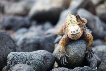 Galapagos finch sitting on male marine iguana photo