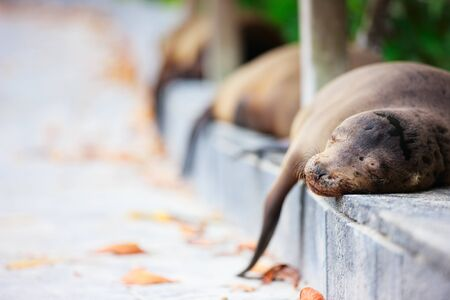 Sea lions sleeping along a pedestrian walkway Stock Photo - 17570863