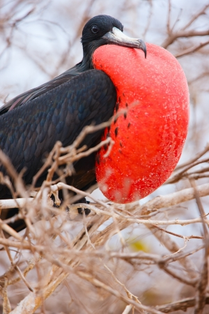 magnificent: Close up of male magnificent frigatebird with inflated throat pouch