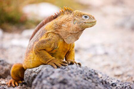 lagarto: Land end�micas de las islas Gal�pagos, Ecuador iguana Foto de archivo