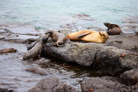 Female sea lion with babies at rocky coast Stock Photo - 17570865