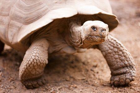 tortuga: Tortuga gigante de Gal�pagos cerca retrato Foto de archivo