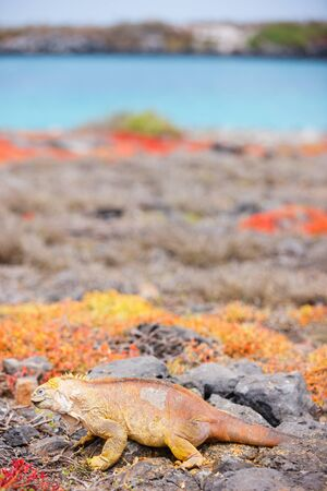 endemic: Land iguana endemic to the Galapagos islands, Ecuador