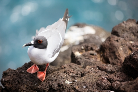 galapagos: Swallow-tailed gull endemic to the Galapagos islands, Ecuador Stock Photo