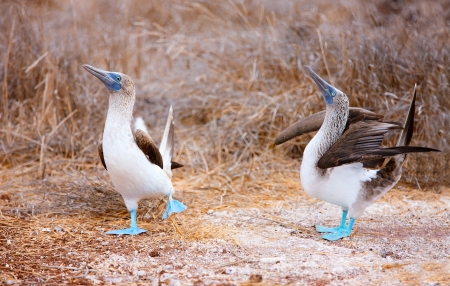 boobies: Couple of blue footed boobies performing mating dance