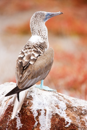 booby: Close up of blue footed booby at Galapagos island of  North Seymour
