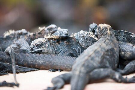 Endemic Galapagos marine iguanas on rocks photo
