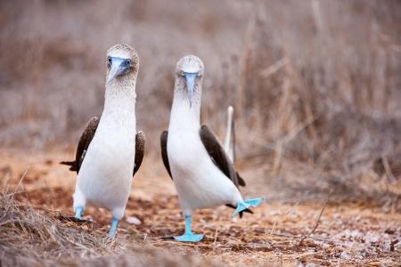 pies bailando: Un par de piqueros de patas azules realizando danza de apareamiento