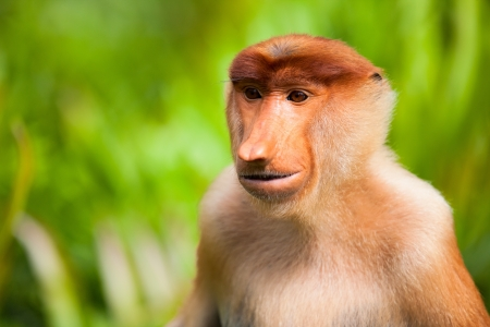 sandakan: Young male proboscis monkey in a wild on Borneo island in Malaysia