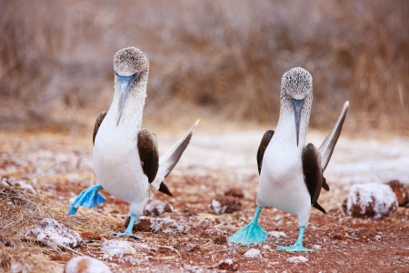 galapagos: Couple of blue footed boobies performing mating dance
