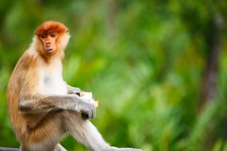 sandakan: Young male proboscis monkey in a wild on Borneo island in Malaysia