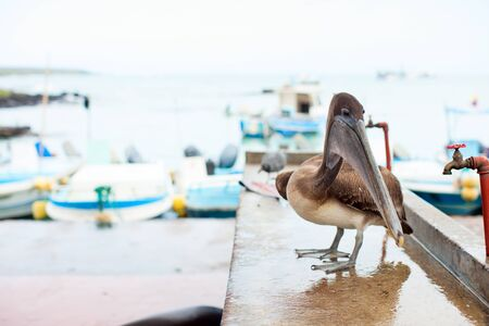 pelicans: Brown pelican at city port with boats on background Stock Photo