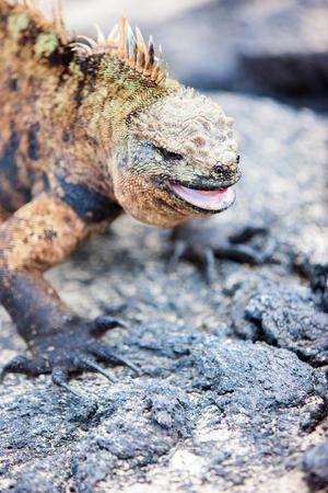 Portrait of male marine iguana, endemic of Galapagos islands, Ecuador photo