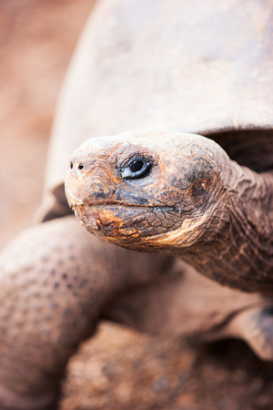 ancient turtles: Close up of the Galapagos giant tortoise