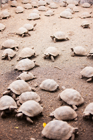 ancient turtles: Babies of Galapagos giant tortoises largest living species of tortoise