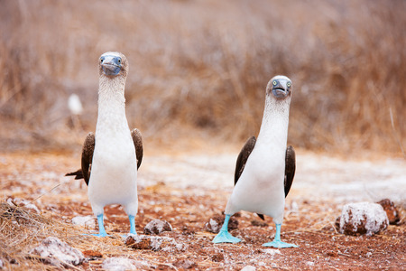 booby: Couple of blue footed boobies performing mating dance