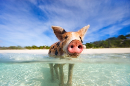 Little piglet in a water at beach on Exuma Bahamas Stok Fotoğraf - 25390132