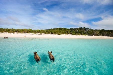 アウト諸島、Exumas のバハマの水泳豚 写真素材