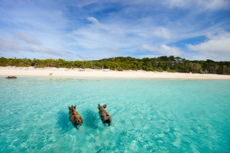 swimming animal: Swimming pigs of the Bahamas in the Out Islands of the Exumas Stock Photo