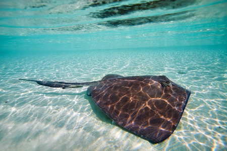 Sting ray swimming in shallow water photo