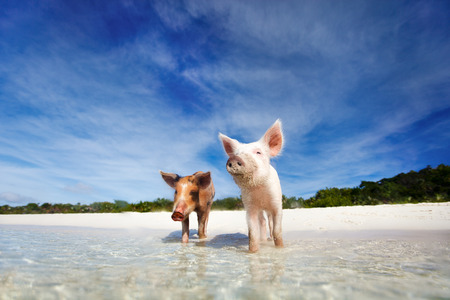 Swimming pigs of the Bahamas in the Out Islands of the Exuma Imagens