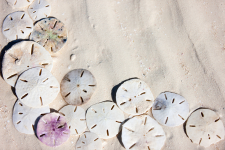 Background of sand dollars at beach