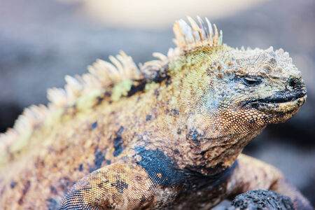 Close up of male marine iguana endemic of Galapagos islands, Ecuador photo