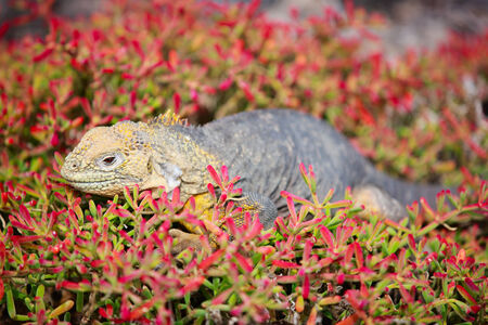 Endemic land iguana Galapagos islands, Ecuador photo