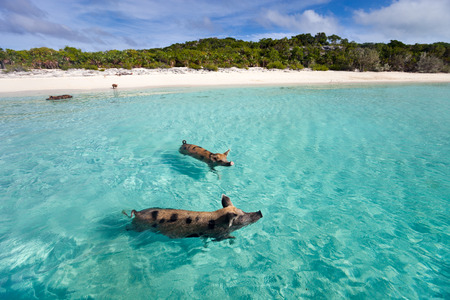pig out: Swimming pigs of the Bahamas in the Out Islands of the Exuma Stock Photo