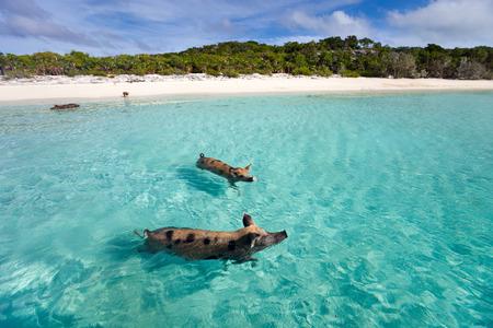 Zwemmen varkens van de Bahama's in de out Eilanden van de Exuma