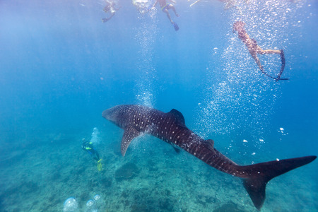 snorkelers: Whale shark surrounded my snorkelers and divers in Indian ocean at Maldives