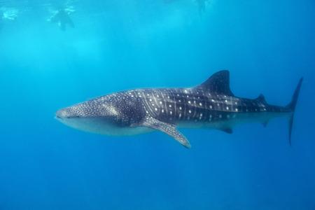 ballena azul: Natación del tiburón ballena en el agua turquesa del Océano Índico en Maldivas Foto de archivo