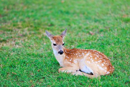 deer spot: Little deer fawn with white spots lying on grass