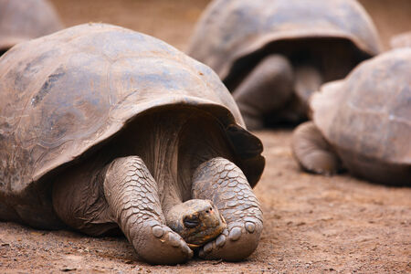 ancient turtles: Galapagos giant tortoise sleeping or resting Stock Photo