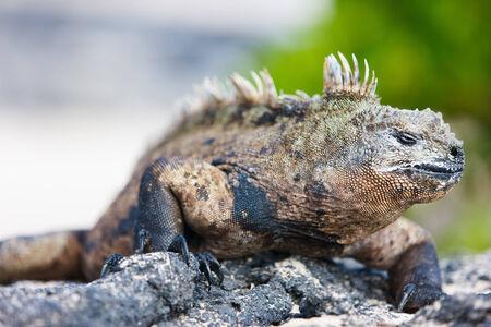 endemic: Portrait of male marine iguana, endemic of Galapagos islands, Ecuador
