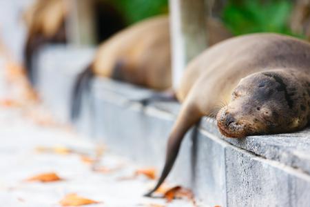 pedestrian walkway: Sea lions sleeping along a pedestrian walkway