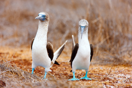 animal mating: Couple of blue footed boobies performing mating dance