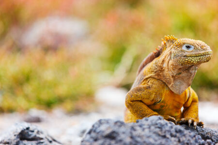 Land iguana endemic to the Galapagos islands, Ecuador photo