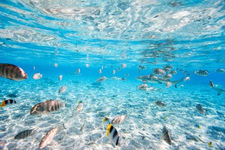 Fisk och svarta tippade hajar vattens i Bora Bora lagunen Stockfoto